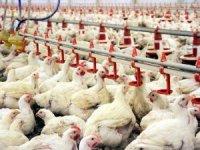 Tavuk eti fiyatları 3 katına yükseldi