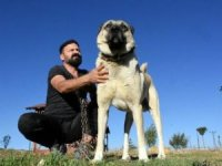 Köpeklerimizin İtalya'ya gitmesinden gurur duyarız