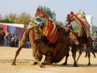 Aydın'da 130 devenin mücadelesi heyecan yaşattı