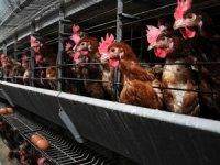 Piliç eti üretiminde beyaz et devlerine ceza