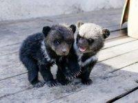 Rusya'da polis 'otelde ayılar var' ihbarıyla harekete geçti