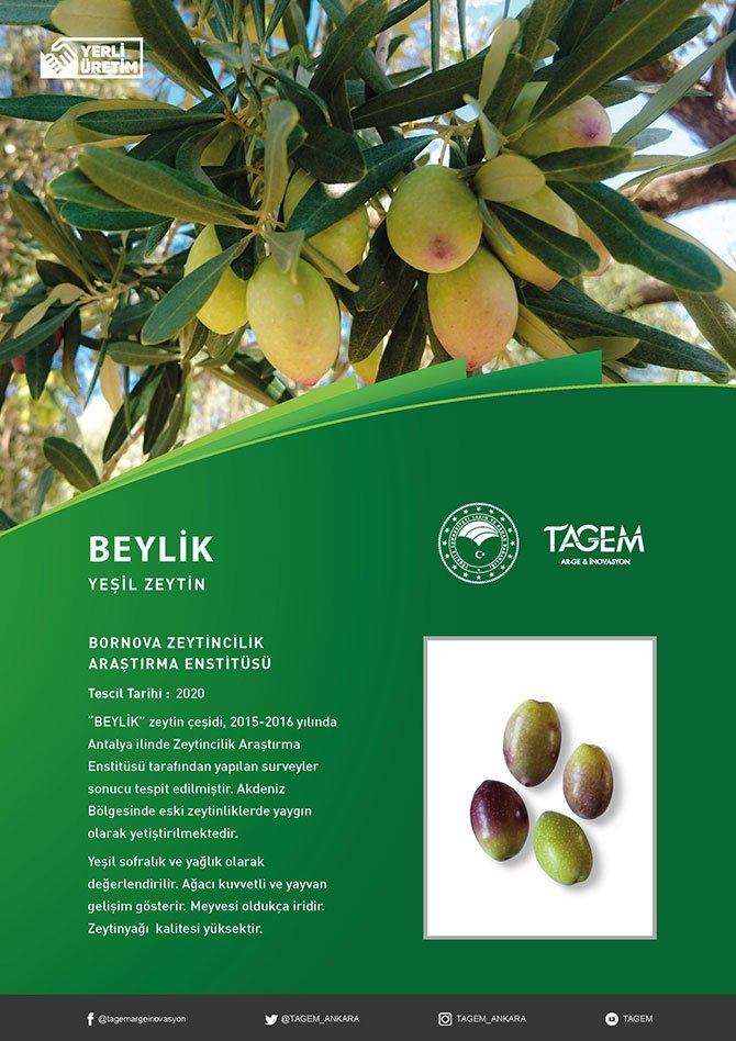 antalyanin-beylik-zeytini--001.jpg