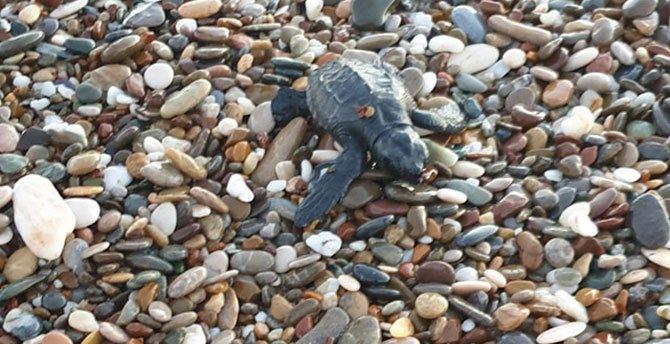 deniz-kaplumbagalari,-001.jpg