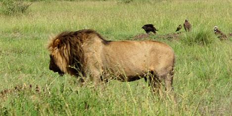 masai-mara-aslan1.jpg