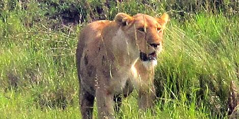 masai-mara-aslan2.jpg