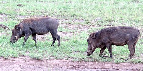 masai-mara-domuz.jpg