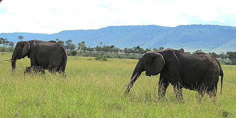 masai-mara-fil2.jpg