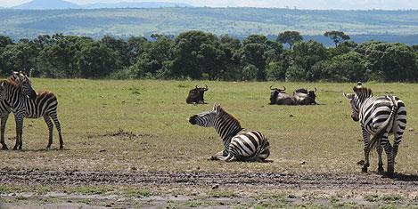 masai-mara-zebra1.jpg