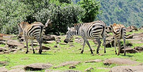 masai-mara-zebra2.jpg