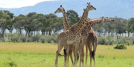 masai-mara-zurafa1.jpg