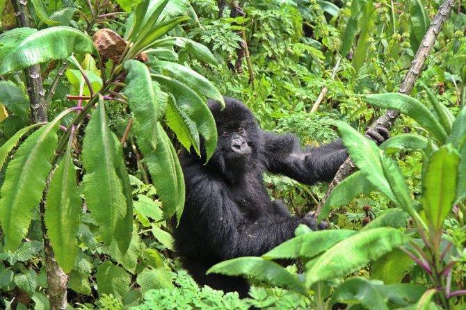 ruanda,-goril-.jpg