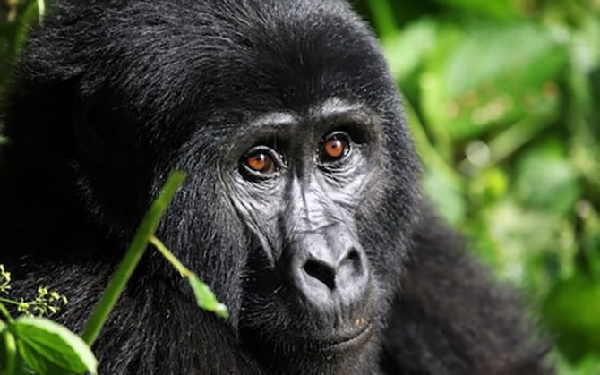 ruanda-gorilla-002.jpg