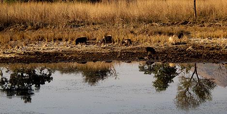 udaipur-sikaerbadi-domuzlar.jpg