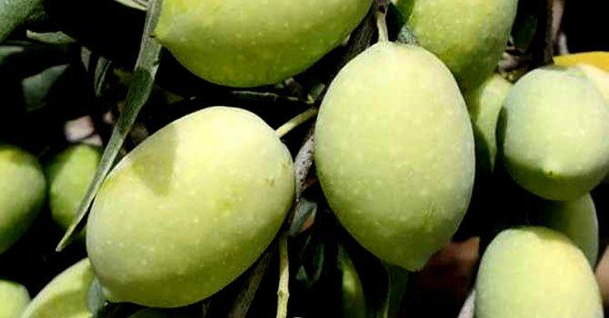 yamalak-sarisi-zeytin-002.jpg