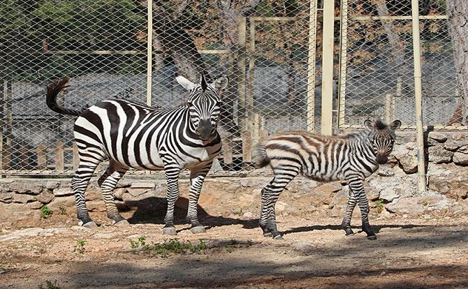 zebra--001.jpg